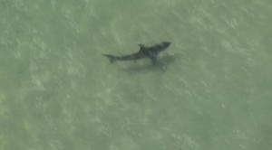 manhattan-beach-sharks-closeup
