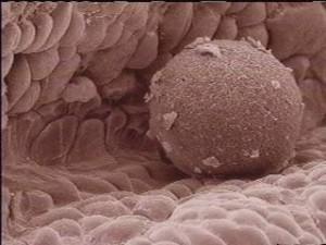 egg_cell