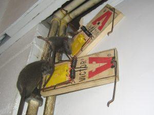 rat011